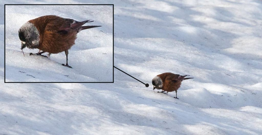 A gray-crowned rosy finch eating ice worms on a glacier
